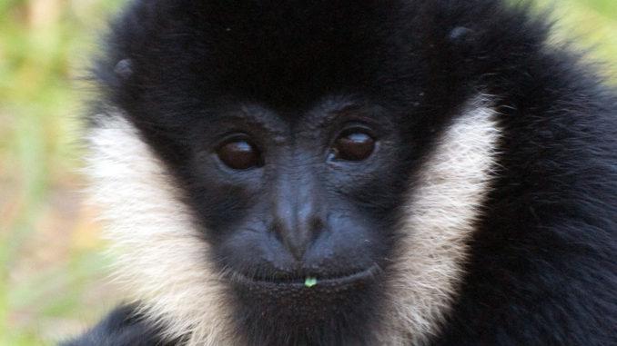 Gibbon at Stone Zoo