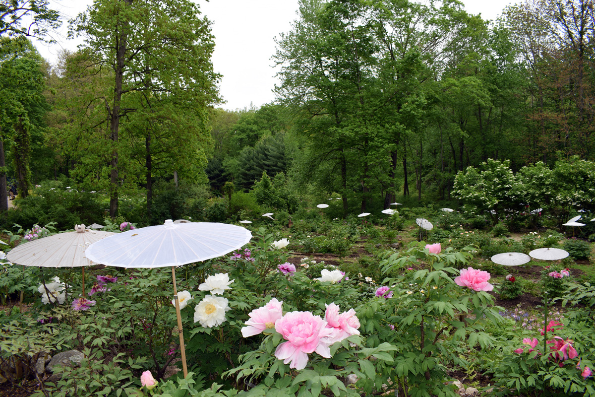 Peony Heaven in Connecticut